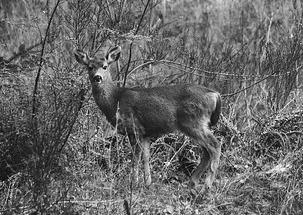 Deer-Unsplash-pixabay-731343_640